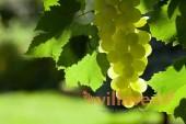 Можно ли есть листья винограда кроликам