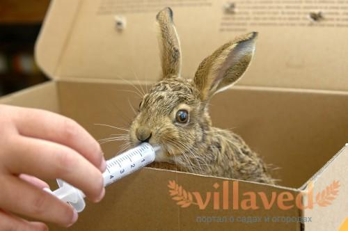 Кормление кролика смесью