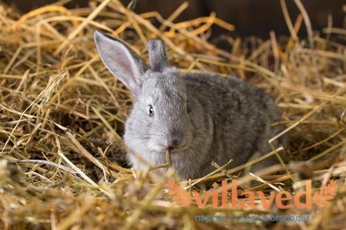 Почему крольчиха разбрасывает крольчат сразу после окрола