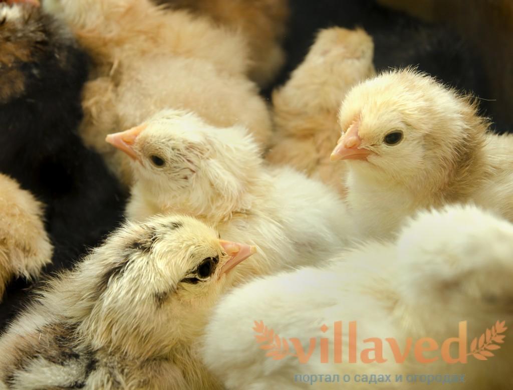 Понос у цыплят лечение народными средствами