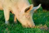 Порода свиней йоркшир