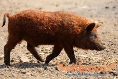Порода свиней мангал