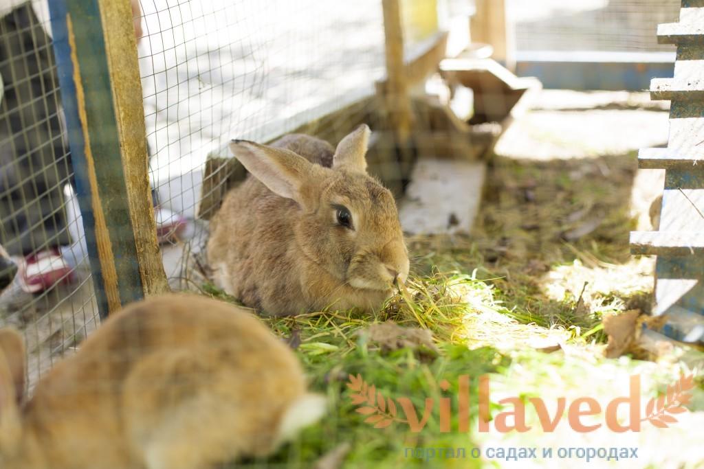 Кролики в домашних условиях форум