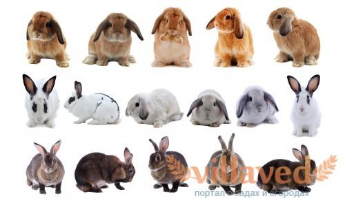 Схема скрещивания кроликов