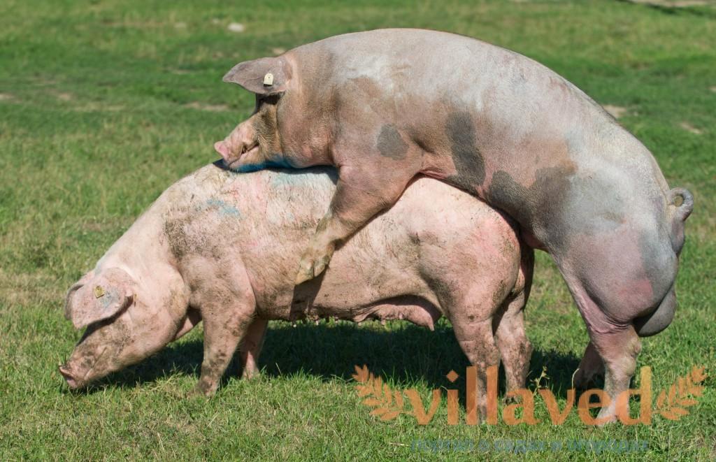 Секс с свиньи и кабаном фото 337-460