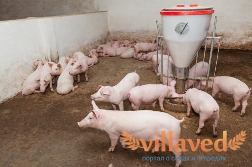 Свиньи не требуют особого ухода