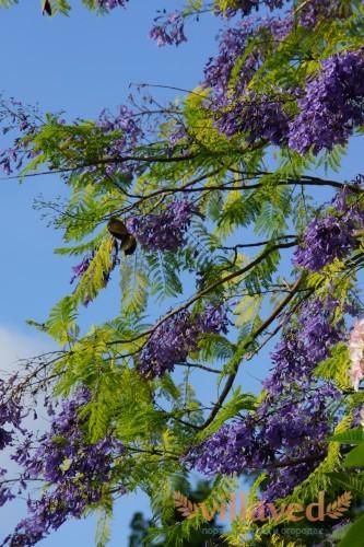Палисандровое дерево