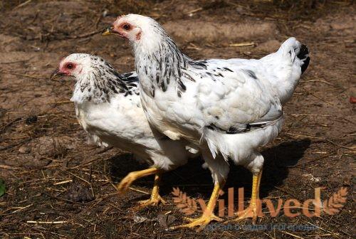 Серебристая адлерская порода кур
