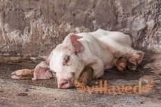 Аскаридоз свиней