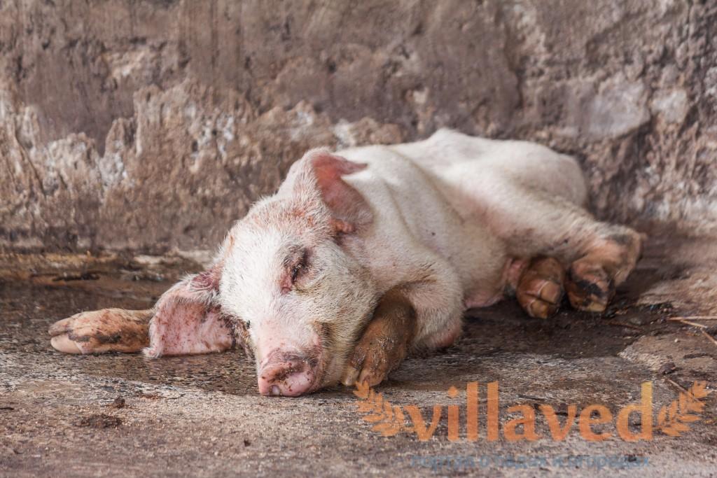 Аскаридоз у свиней и что с этим делать