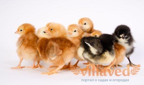 Цыплята Австралорп