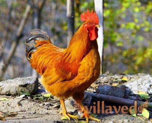 Курицы выглядят очень экстравагантно