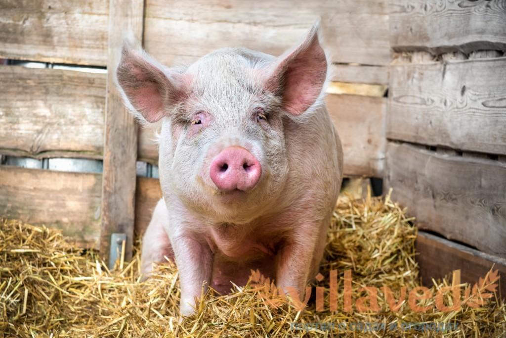 Половое сношение свиней смотреть онлайн