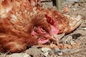 Чем лечить пуллороз у цыплят