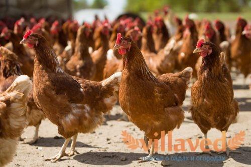 Кормление куриц