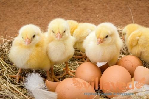 Сколько курица высиживает яйца