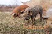 Скрещивание пород свиней