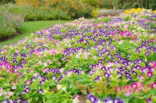 Различные сорта цветка
