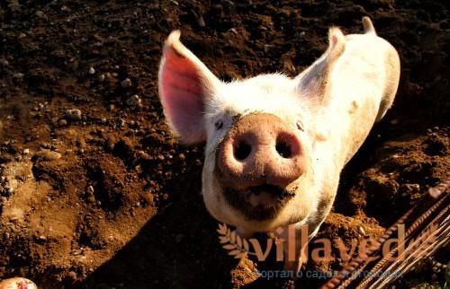 Запор у свиней: чем лечить, что делать