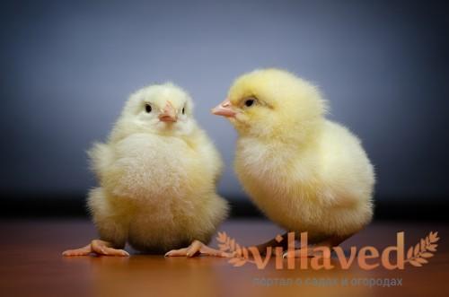 Зоб у цыплят