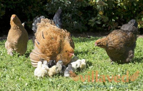 Брама с цыплятами