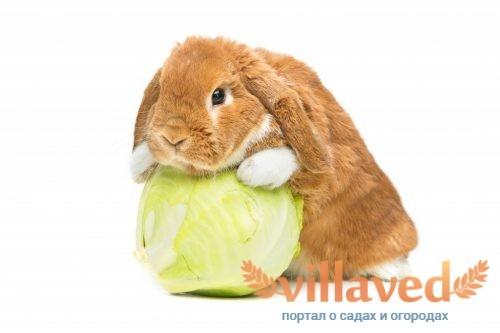 Что можно давать декоративному кролику