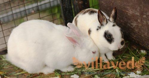 Почему чихает кролик