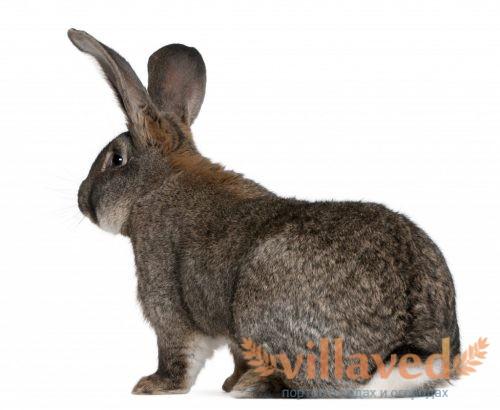 Кролики легко набирают вес в 2,5 килограмма