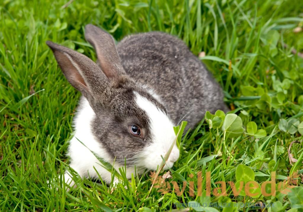 Лечение пододерматита у кроликов