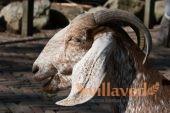 Порода англо-нубийских коз