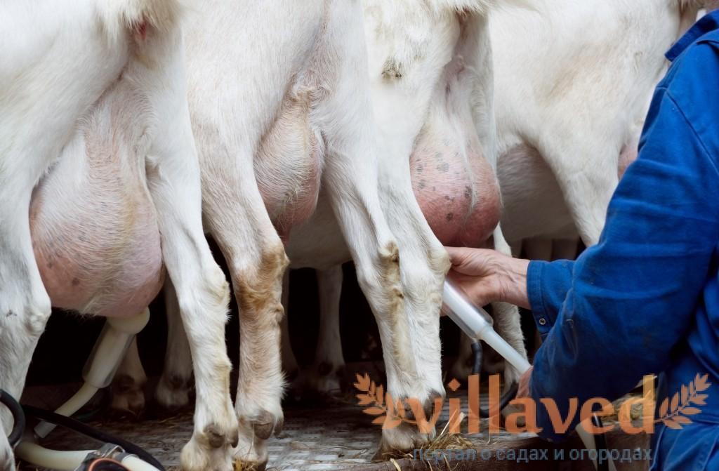 Болезни вымени коз и их лечение