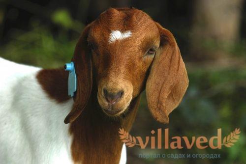 Порода Бурских коз имеет отличительный окрас