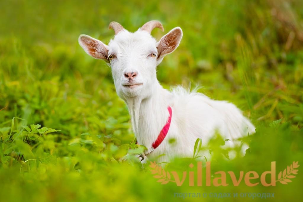Горьковская коза содержание и уход