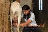 С доением коз прекрасно справляются даже дети
