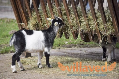 Копыта у козы