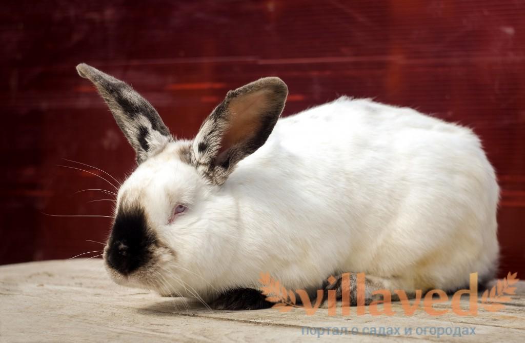 Как выглядит калифорнийский красный кролик
