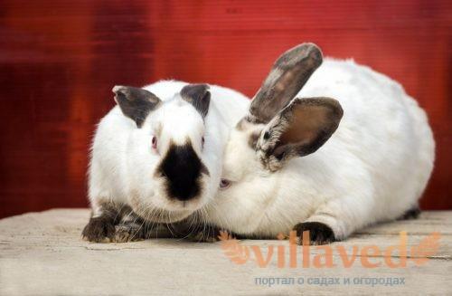 Кролики имеют очень красивый окрас