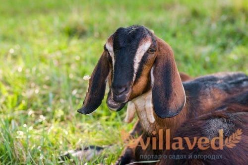 Портрет Нубийских коз на пастбище