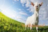 Как содержать коз