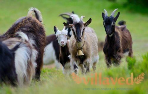 С содержанием коз справится любой начинающий фермер