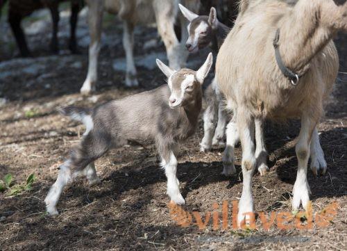 Мать и козленок Тоггенбургкой породы