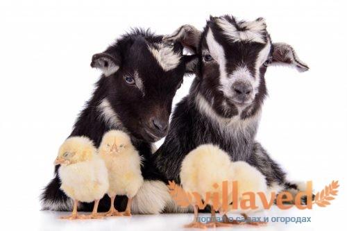 Черные пуховые козы
