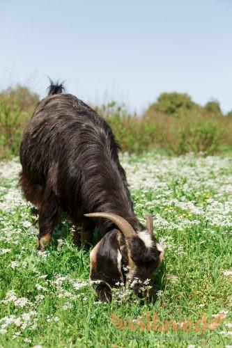 Анатолийская черная коза