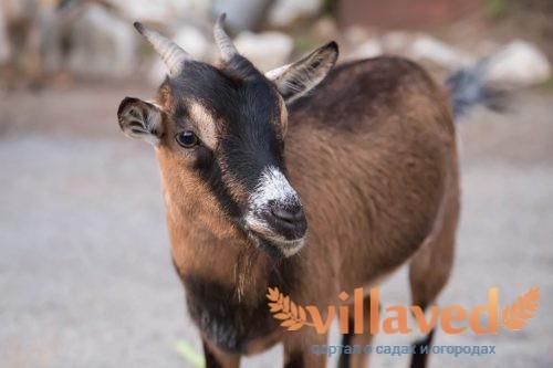 Порода чешских коз