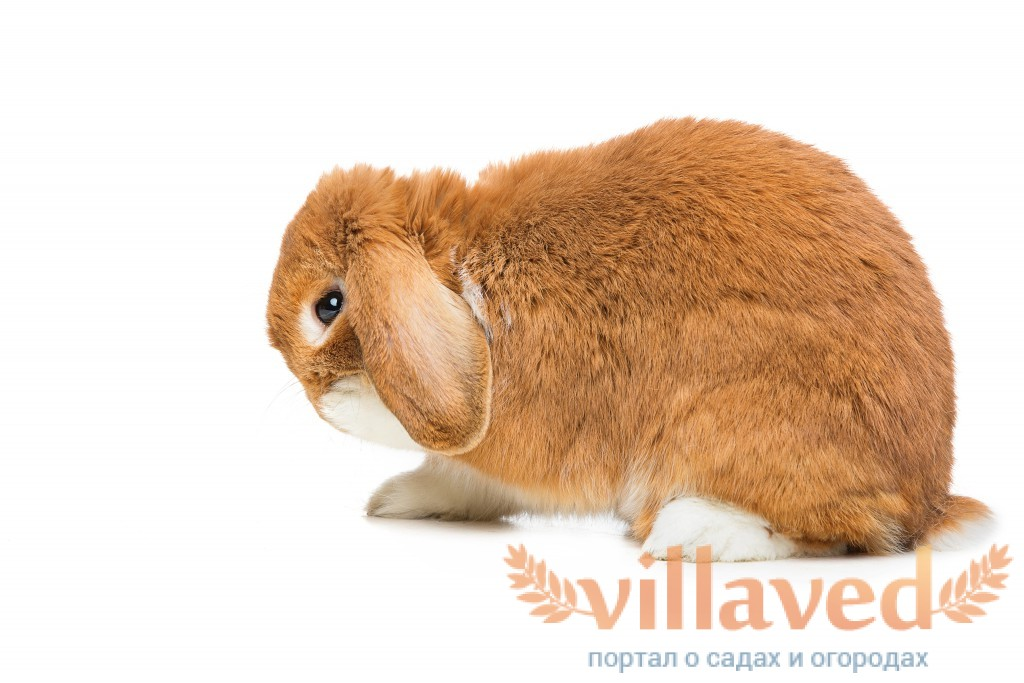 О лечении ушной чесотки у кроликов