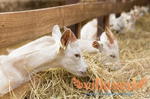 Что делать, если коза не ест