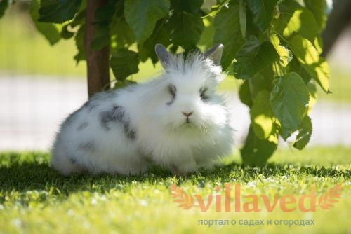 Цвет мочи кролика