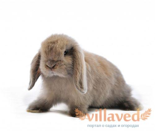 Декоративные вислоухий кролик