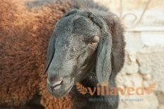 Гиссарская порода овец