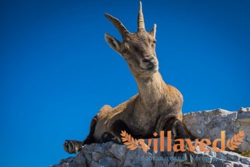 Горный козел (Ибекс) на горе Монтазио